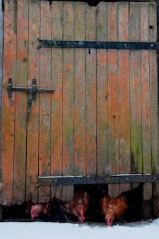 Poulets venant sous une porte de grange