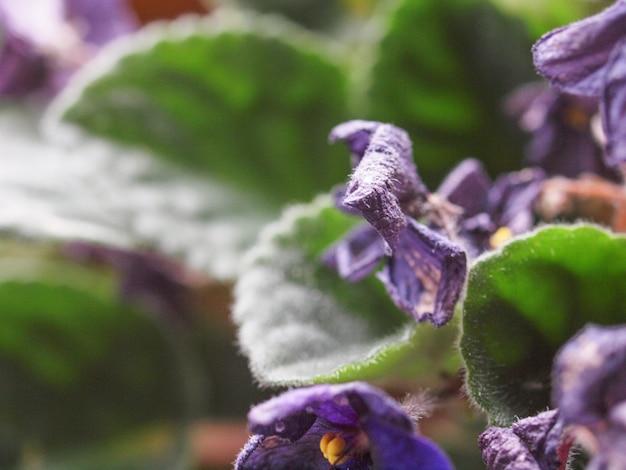 La pourriture des fleurs violettes