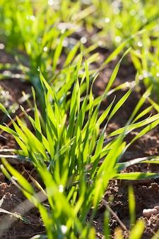 Poussant en rangées d'herbe verte dans un pré