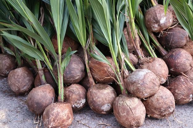 Pousse de cocotier