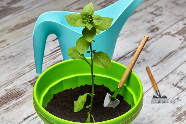 Pousse d'une fleur de pétunia en pot vert dans le contexte d'un arrosoir turquoise et d'outils de jardinage. fleur de balcon