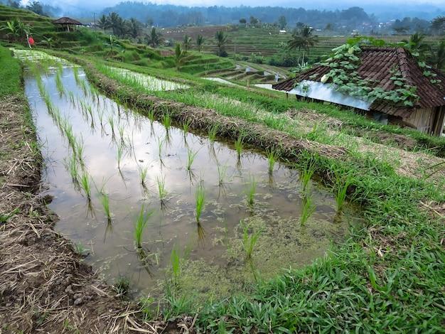 Pousse de riz vert sur des rizières en terrasse de riz avec des lignes courbes et des kiosques locaux