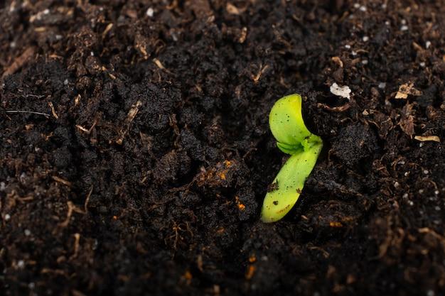 Pousse verte de cannabis dans la petite plante de marijuana moulue