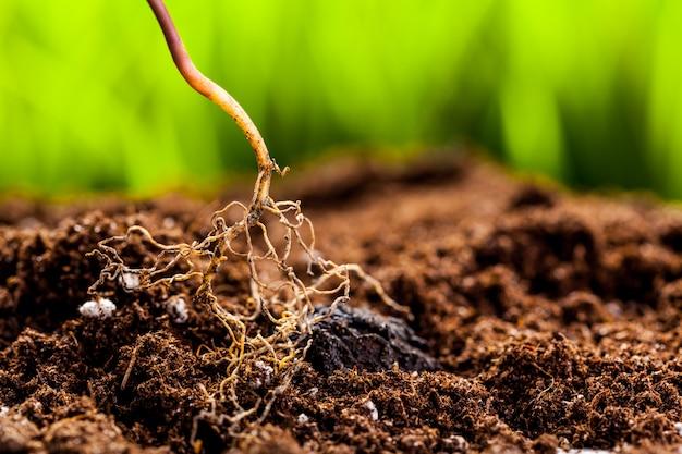 Pousse verte qui pousse à partir de graines dans un sol organique