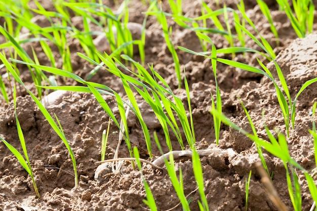 Pousses de blé vert sur le terrain au printemps