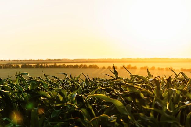 Pousses de jeunes maïs vert contre le soleil couchant. champ de maïs mûrissant