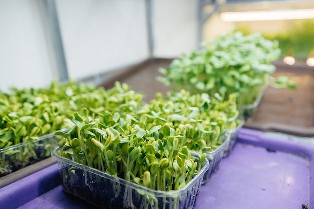 Pousses juteuses et jeunes de micro-verts dans la serre. cultiver des graines. alimentation équilibrée.