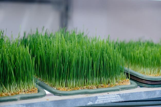 Pousses juteuses et jeunes de micro-verts dans la serre.