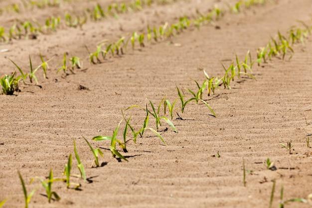 Pousses de maïs vertes