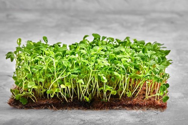 Pousses de moutarde microgreen pousses crues, microgreens, concept d'alimentation saine