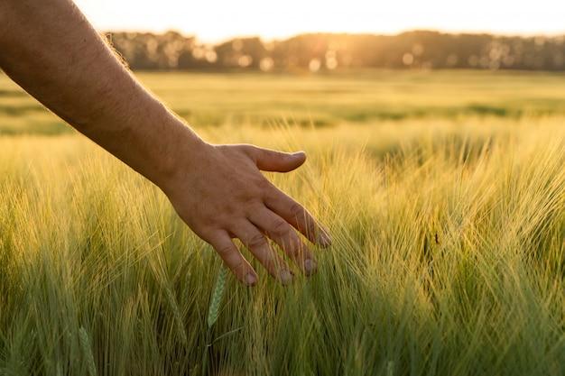 Les pousses d'orge dans la main d'un agriculteur.agriculteur marchant dans le champ de contrôle de la récolte d'orge