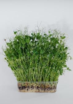 Pousses de pois micro-vert gros plan sur fond blanc dans un pot avec de la terre. une alimentation et un mode de vie sains.