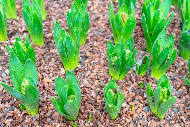 Pousses vertes dans le sol.