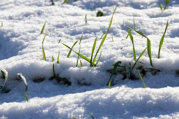 Pousses vertes de variété d'hiver de céréales sous la neige