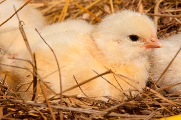 Poussin dans un nid
