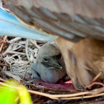 Poussin fou à pieds rouges (sula sula) au nid, île de genovesa, îles galapagos, équateur