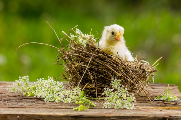 Poussin jaune dans un nid sur un fond naturel.