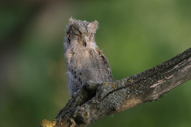 Un poussin de petit-duc d'eurasie est filmé assis sur une branche dans la douce lumière du soir.
