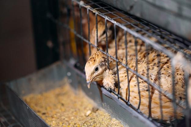 Poussins de caille dans une cage à la ferme.