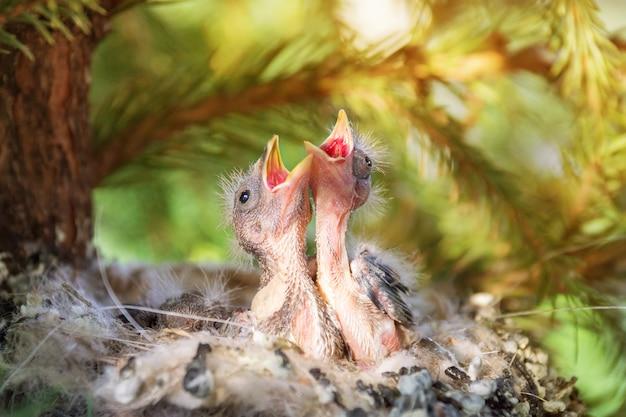 Poussins dans le nid