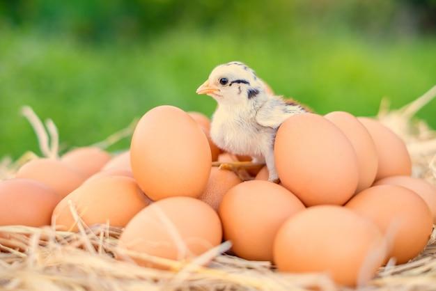 Poussins debout sur des œufs de poule de bonne qualité avec de la paille sur la table