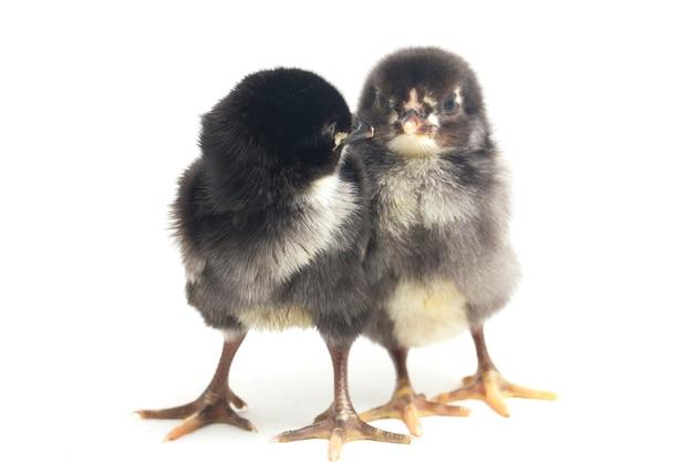 Poussins noirs nouveau-nés sur blanc