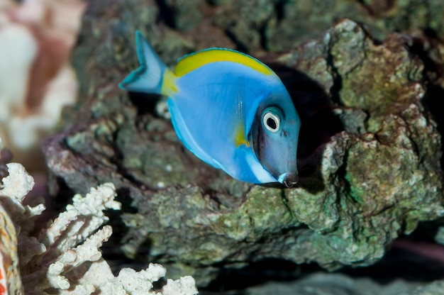 Powder blue tang nageant dans un aquarium.