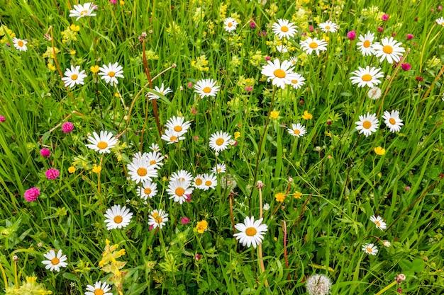 Prairie alpine avec marguerites sauvages et trèfles un jour d'été