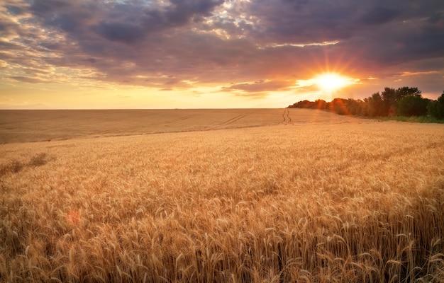 Prairie de blé. beau coucher de soleil
