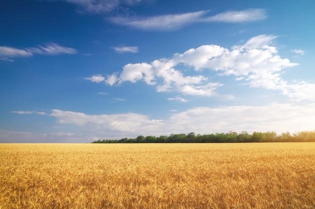 Prairie de blé. beau paysage.