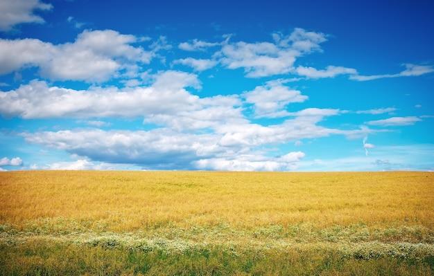 Prairie de blé et ciel bleu nuageux. composition naturelle.