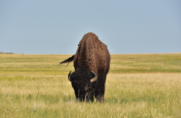 Prairie fantastique avec un bison broutant les herbes dans le dakota du sud.