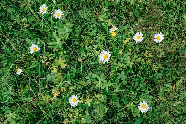 Prairie fleurie avec des fleurs de camomille sauvage