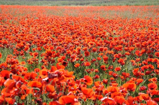 Prairie de fleurs sauvages de pavot rouge
