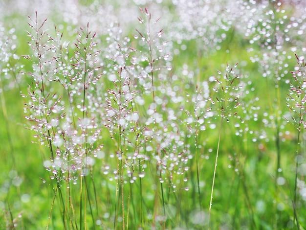 Prairie d'herbe avec des gouttes d'eau après la pluie