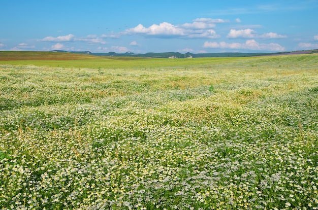 Prairie de marguerite