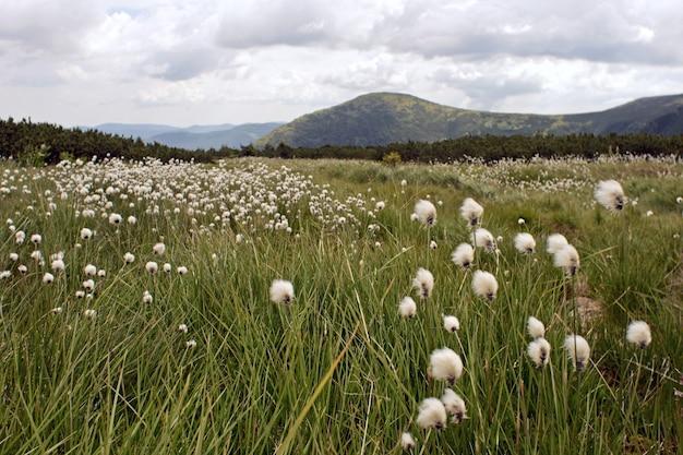 Prairie de montagne avec des fleurs blanches en peluche (ciel couvert et vue sur la montagne derrière)