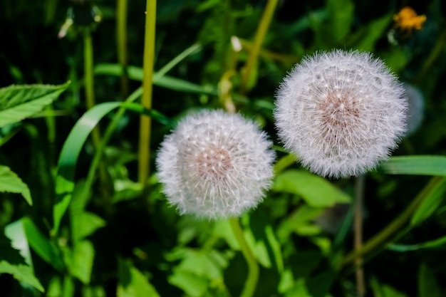 Prairie de pissenlits blancs. champ d'été. champ de pissenlit. fond de printemps avec des pissenlits blancs. graines. fleur de pissenlit moelleux