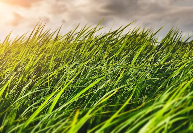 Prairie de riz vert ou prairie avec ciel nuageux de saison des pluies.