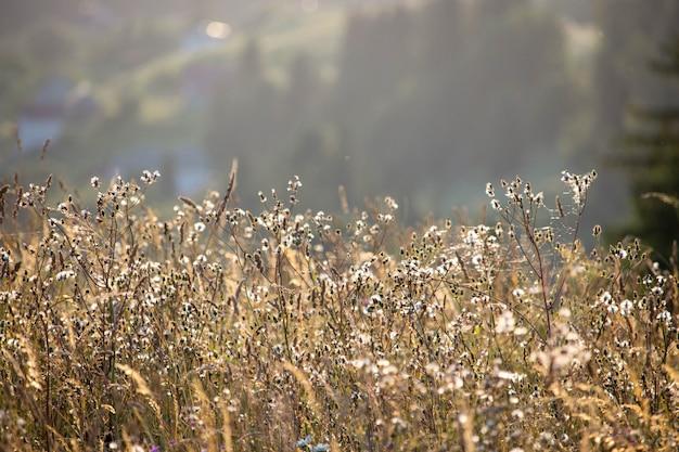 Prairie sauvage plantes à la lumière dorée