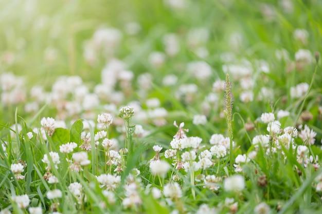 Pré de vert de fleurs de trèfle blanc