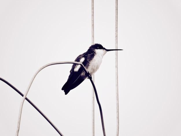 Premier colibri noir et blanc