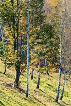 Premier feuillage jaune d'automne dans la forêt ensoleillée de hêtres et de bouleaux