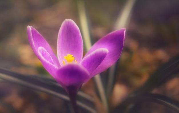 Première fleur de crocus pourpre printanière délicate et lumineuse