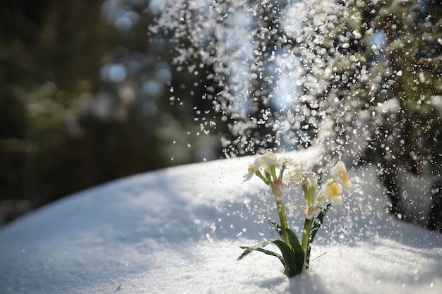 La première fleur du printemps. perce-neige dans la forêt. journée ensoleillée de printemps dans la forêt.