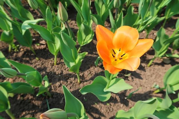Première fleur de tulipe orange fleurie sur le lit de la fleur parmi d'autres bourgeons de tulipe fermés