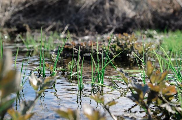 La première herbe de printemps dans l'eau.