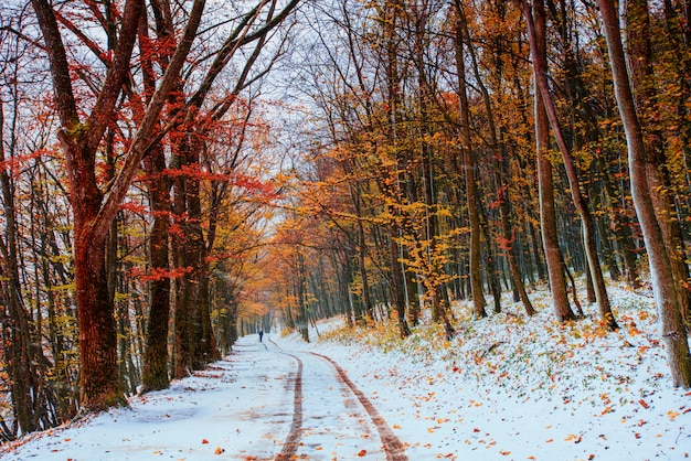 Première neige dans la forêt.