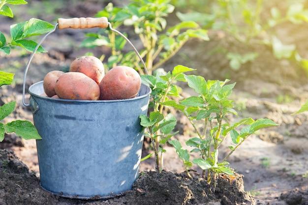 Première récolte de pommes de terre en été
