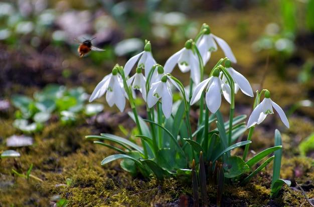 Premières belles perce-neige au printemps.